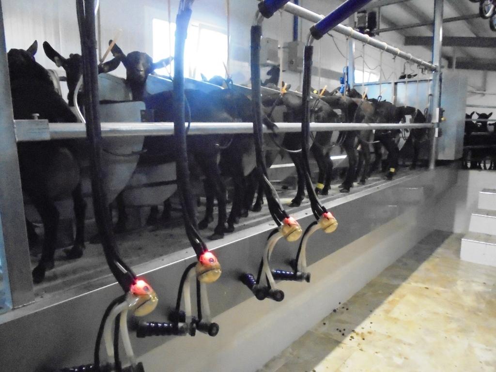 Sistema de ordeño en una granja caprina de raza Murciano-Granadina. España - Abril 2016
