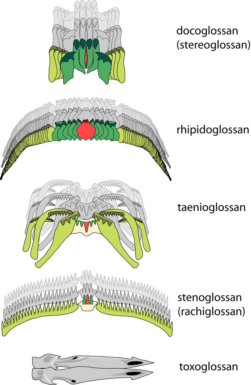 Diferentes rádulas de animales moluscos como el caracol. Tipos Rádula: Rojo=diente central (ráquidiano), Verde=dientes laterales, Amarillo=dientes marginales.
