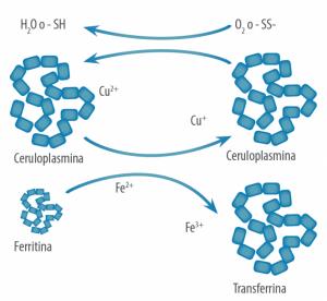 Importancia del cobre en el transporte del hierro - Enzimas