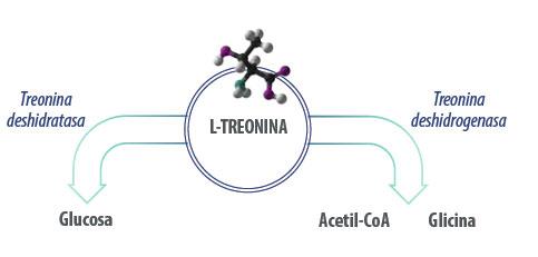Metabolismo treonina