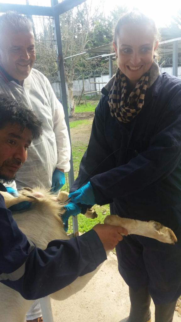 Alimentación animal e inseminación artificial en Chile