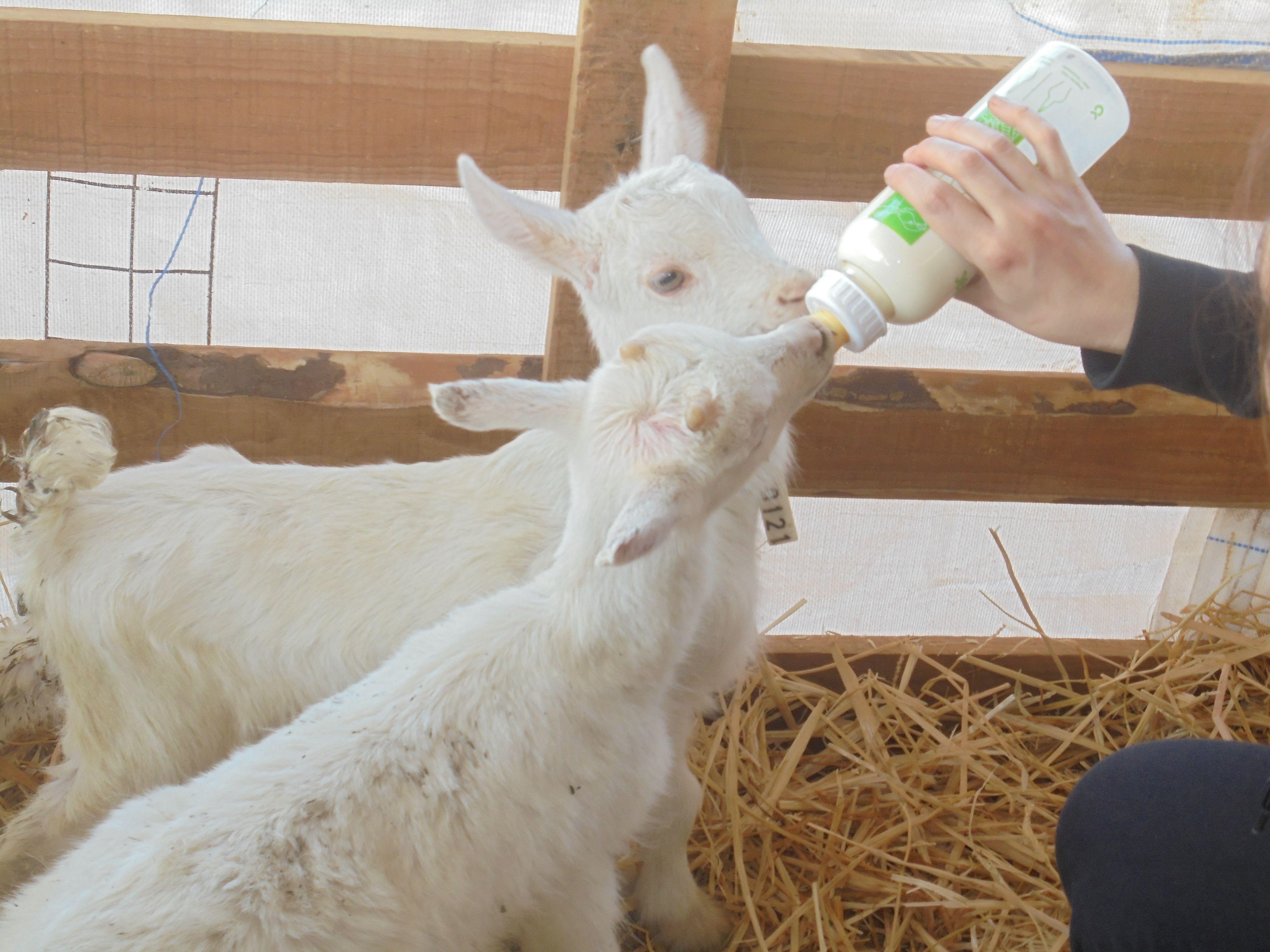La estacionalidad en la producción caprina lechera